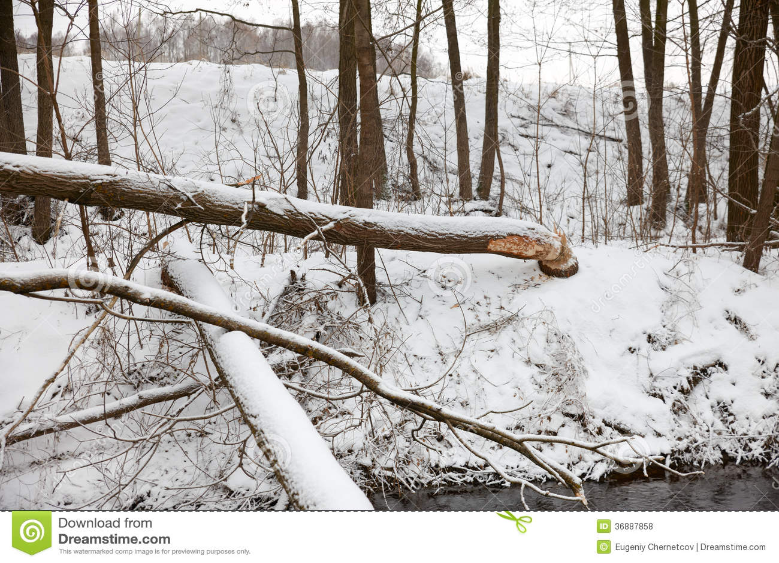 Download I Castori Dell'albero Rosicchiano L'inverno Fotografia Stock - Immagine di nave, morso: 36887858
