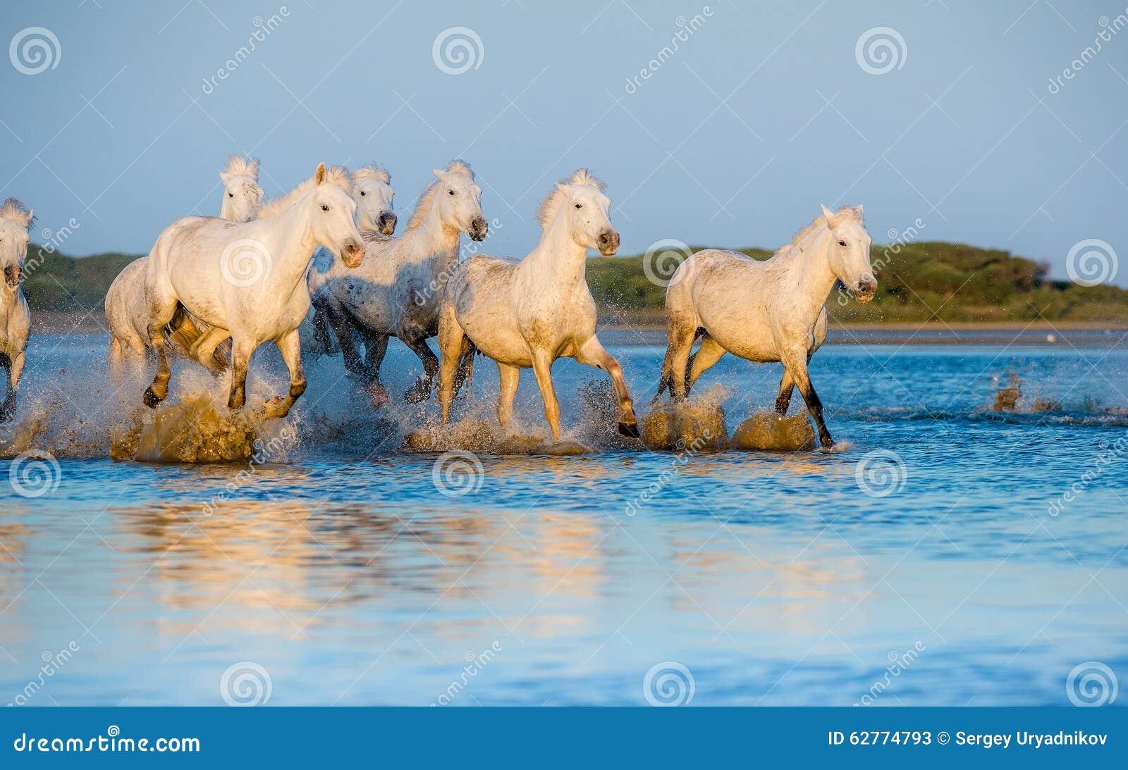 I cavalli bianchi di camargue che corrono sull 39 acqua blu for Mammiferi che vivono in acqua