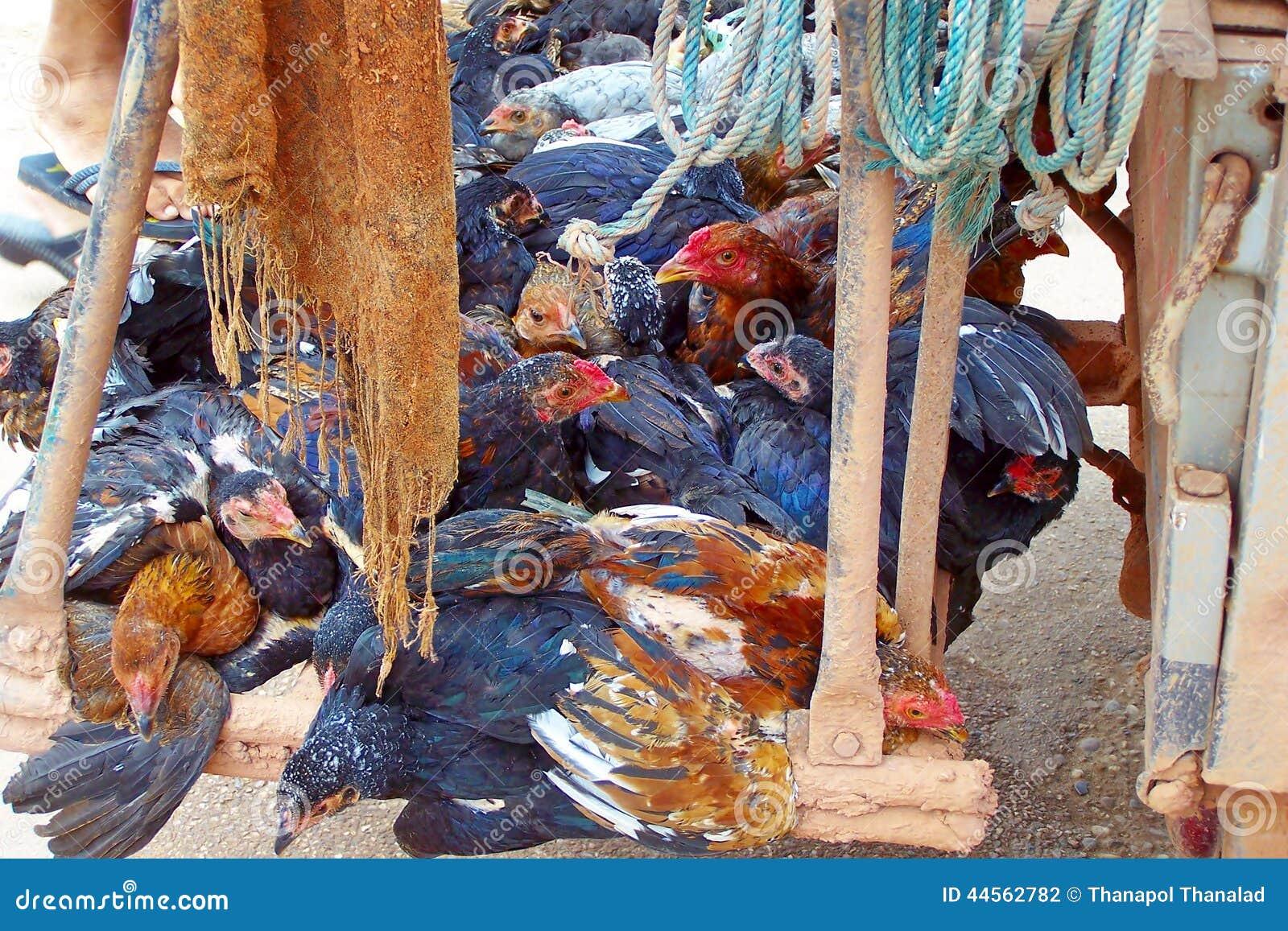 I cavi dell agricoltore del Laos un pollo aggiunge la parte posteriore che un automobile va vendere al mercato