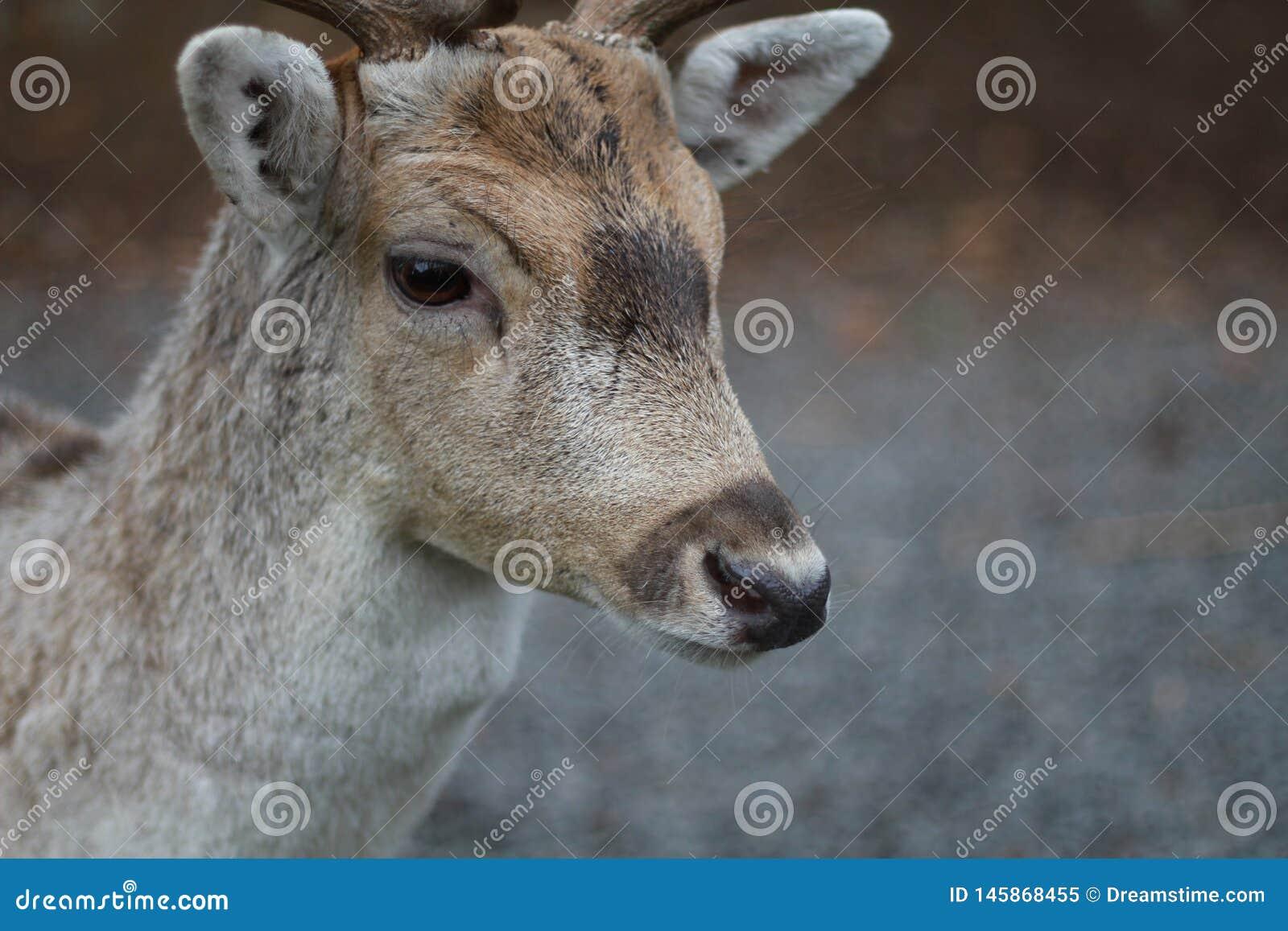 I cervi si sono ramificati ½ ÑŒ di аРdi Ол Ð?Ð ½ ÑŒ л dei corni