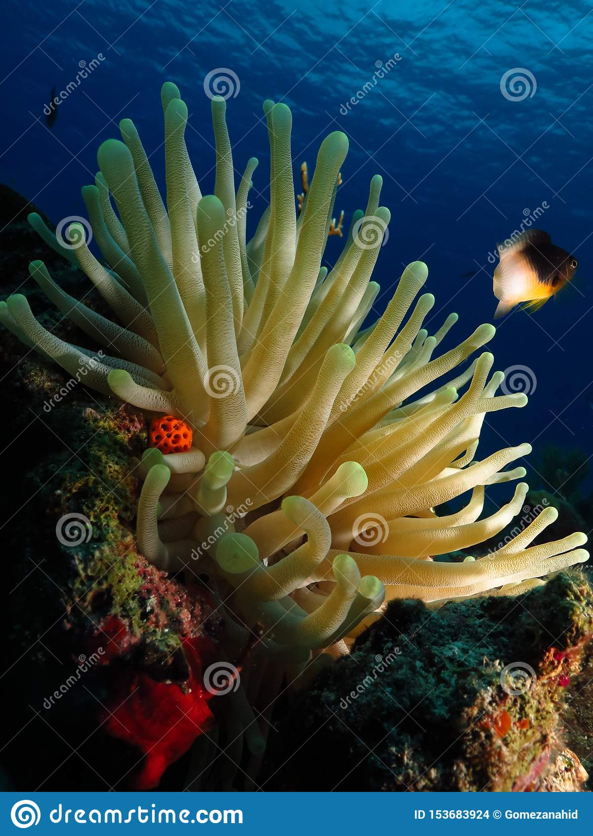I colori luminosi di un anemone e di un pesce della donzella