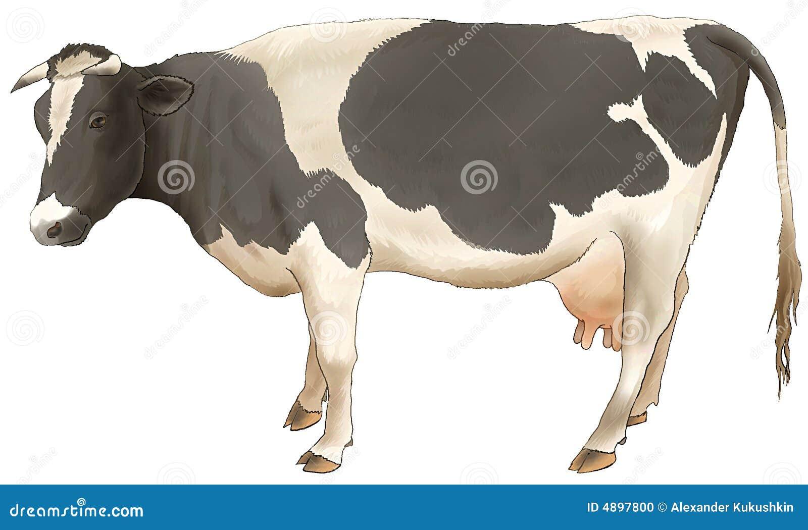 I costi e gli sguardi della mucca.
