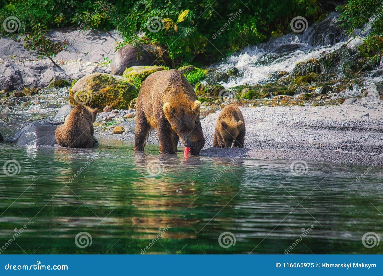 I cuccioli della femmina e di orso dell orso bruno di Kamchatka pescano il pesce sul lago Kuril Penisola di Kamchatka, Russia