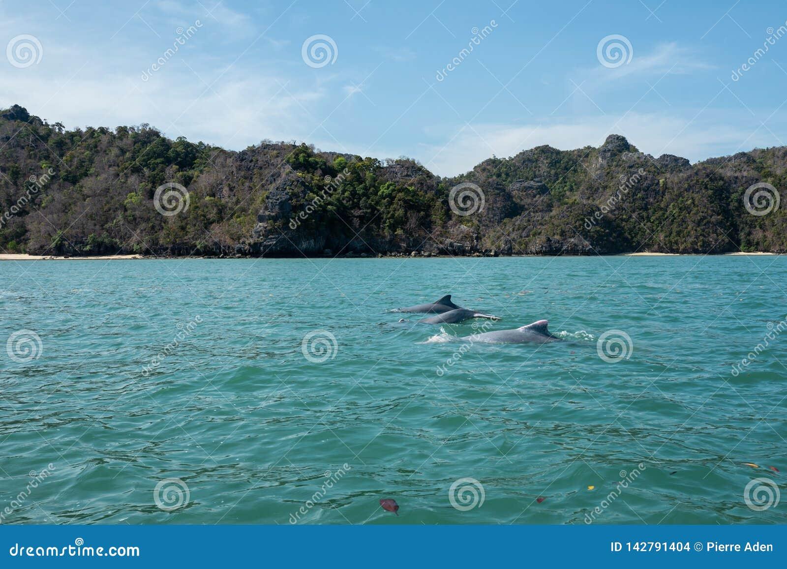 I delfini alle mangrovie visitano nella morfologia carsica Geoforest, Langkawi di Kilim