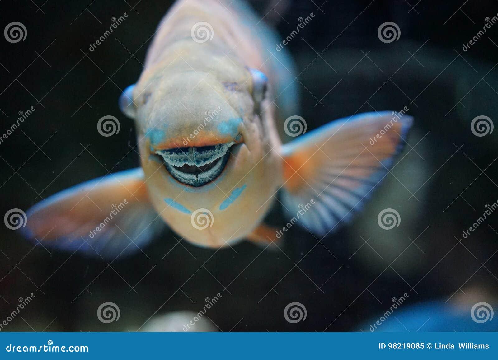 I denti fusi pesce pappagallo fanno un becco