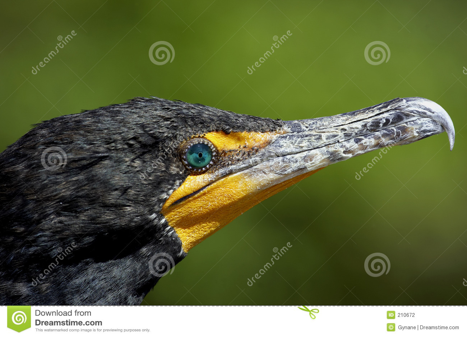 Download I Doppi Terreni Paludosi Crestati Del Cormorant Indicano La Sosta Nazionale Florida S.U.A. Fotografia Stock - Immagine di uccello, ornitologia: 210672