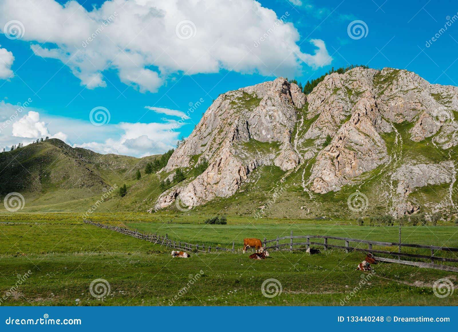 I förgrunden som betar kor på fältet
