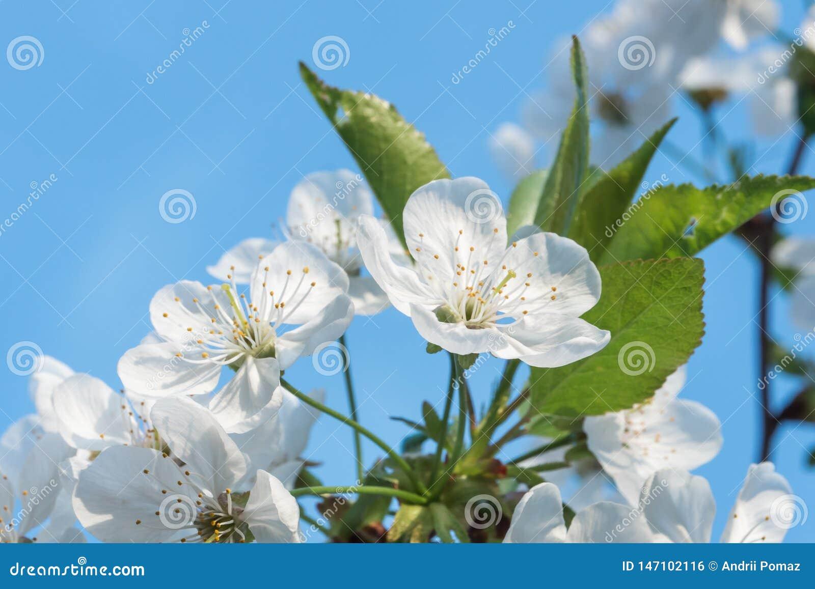 I fiori bianchi della ciliegia balzano fioritura con cielo blu su fondo Fine sul colpo artistico