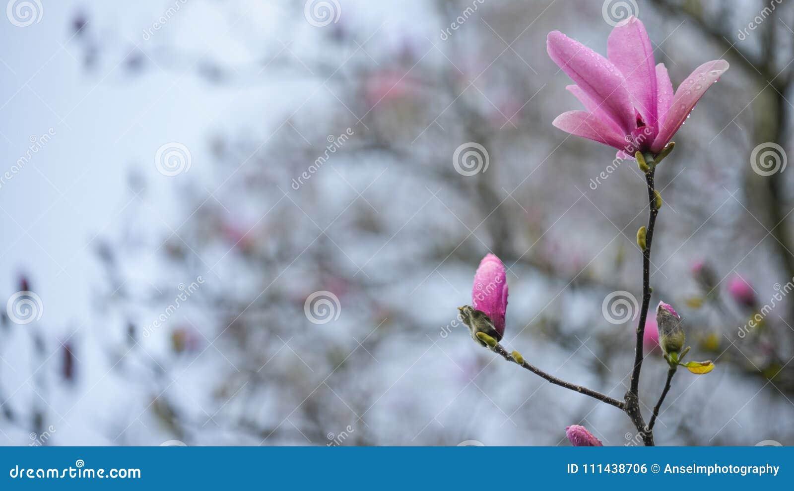 I fiori della magnolia che stanno alti come un sogno rosato fra il tutto la primavera fiorisce all università di Washington