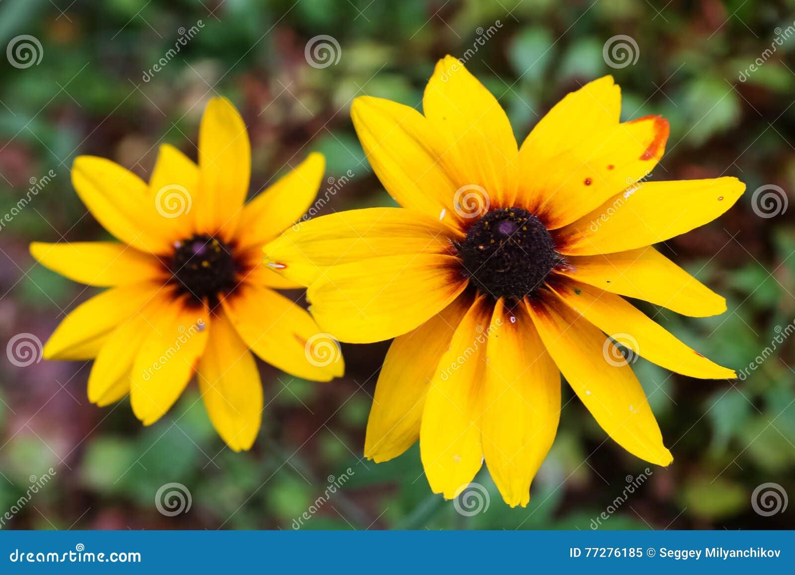 I fiori di giallo simili alle margherite si sviluppano immagine download i fiori di giallo simili alle margherite si sviluppano immagine stock immagine di floreale thecheapjerseys Choice Image