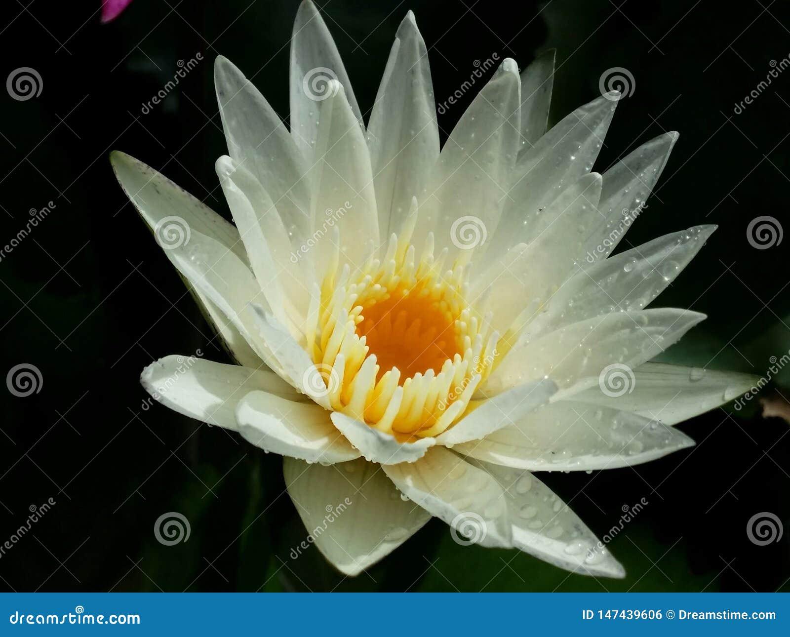 I fiori di loto bianco sono piena fioritura, molto bella
