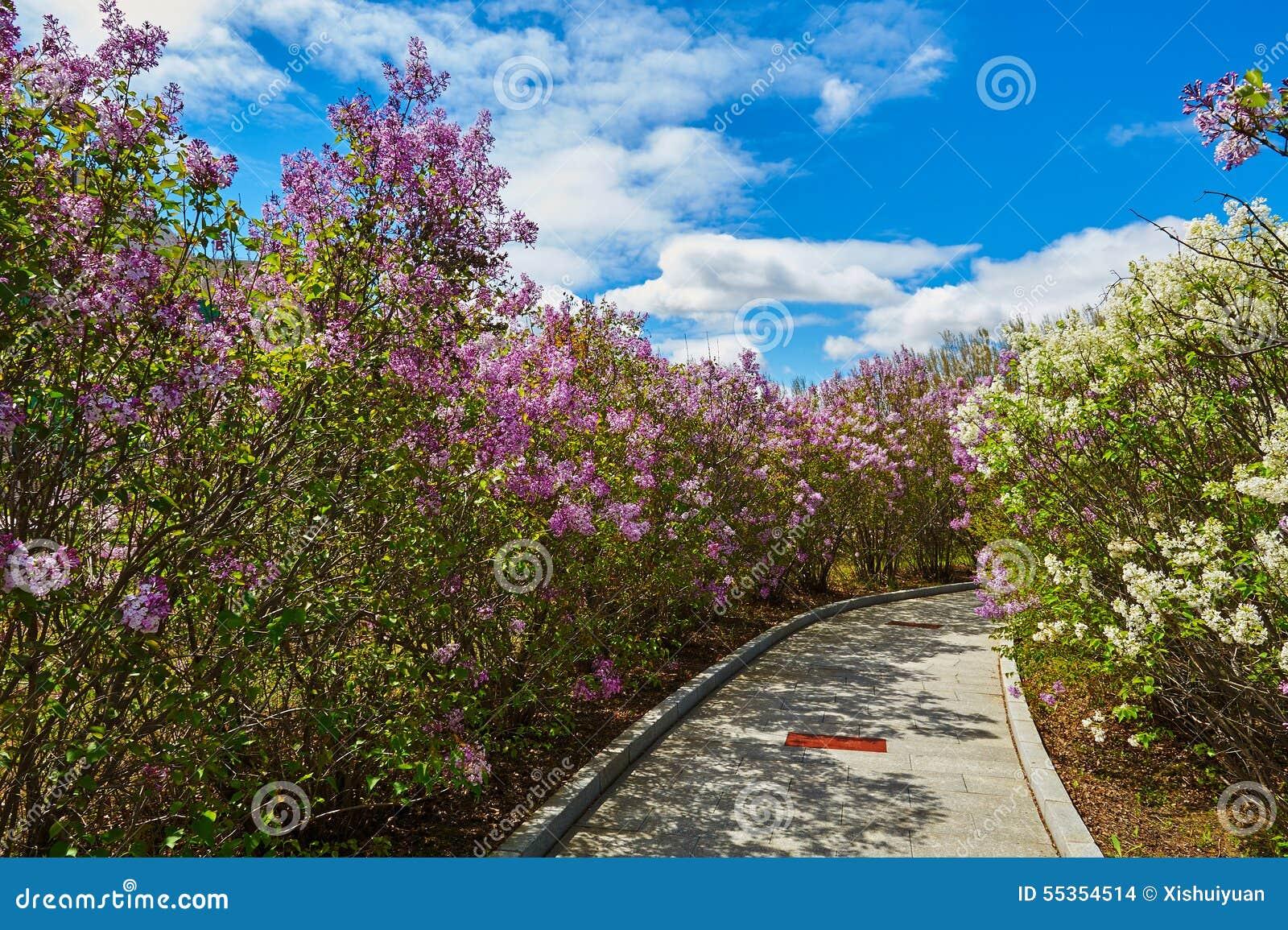 I fiori ed il percorso lilla di fioritura della viola