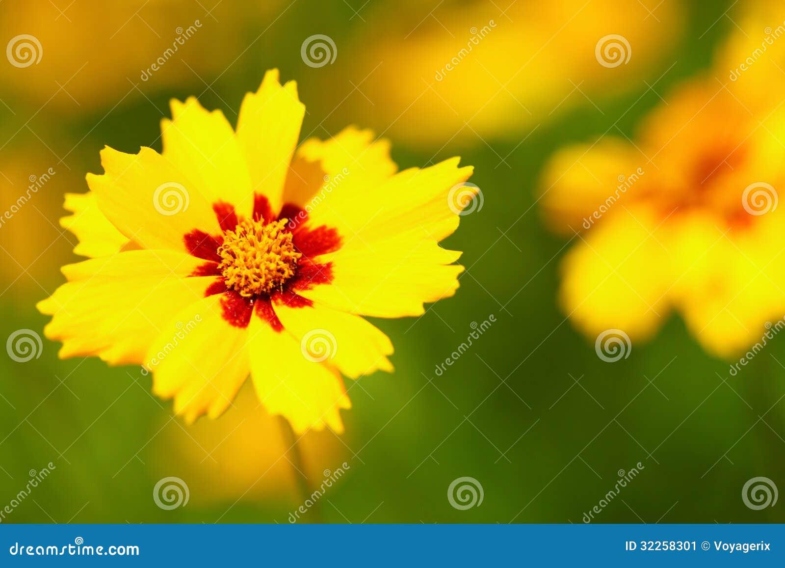 I fiori gialli nel giardino hanno spleso al sole immagine - Il sole nel giardino ...