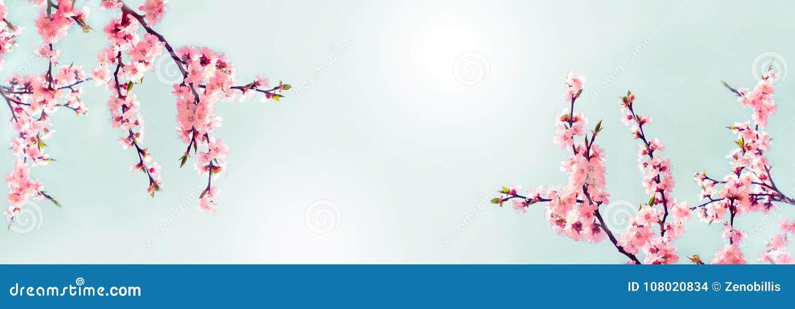 Ciliegio Fiori Bianchi O Rosa.I Fiori Rosa Della Ciliegia Si Chiudono Su Ciliegio Di Fioritura