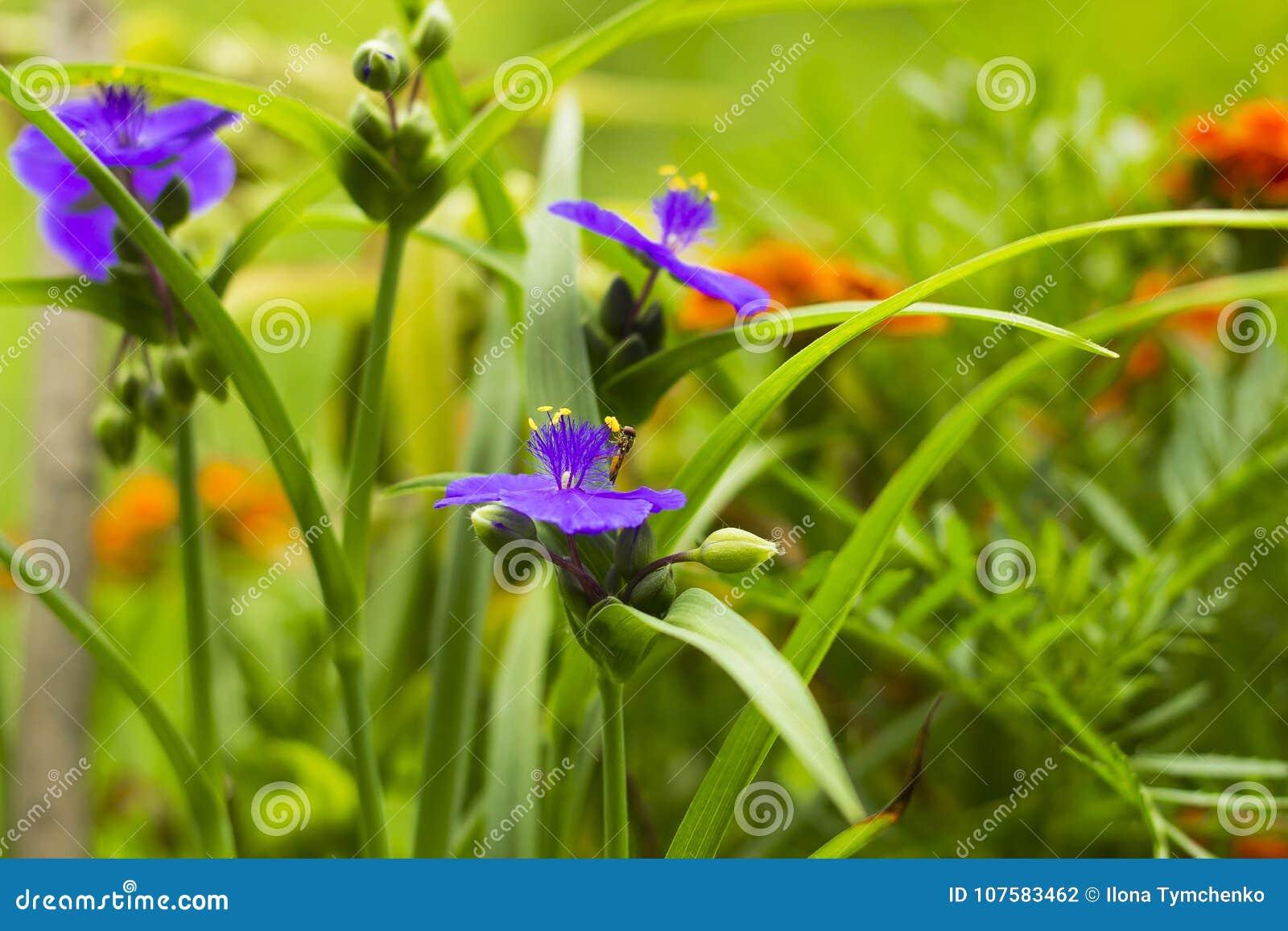 I fiori viola con tradescantia gialla delle antere di estate fanno il giardinaggio