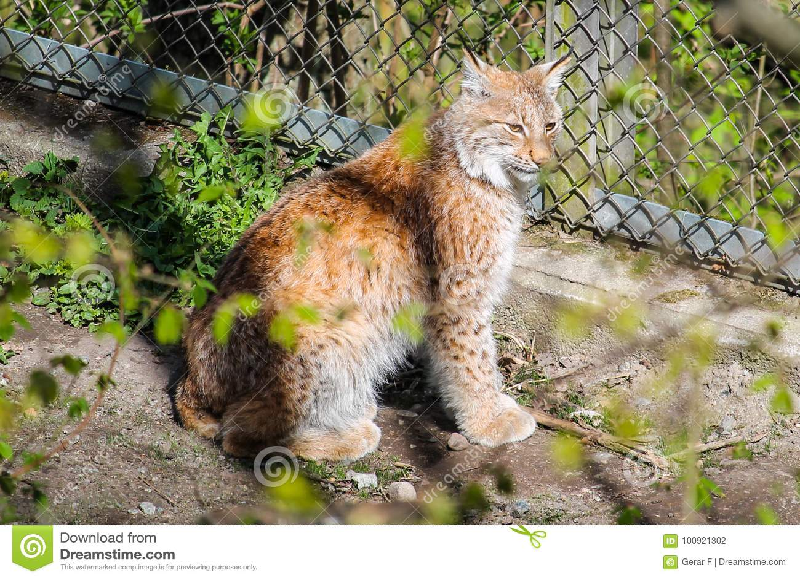 Lynx stock photo  Image of fauna, open, feline, park - 100921302