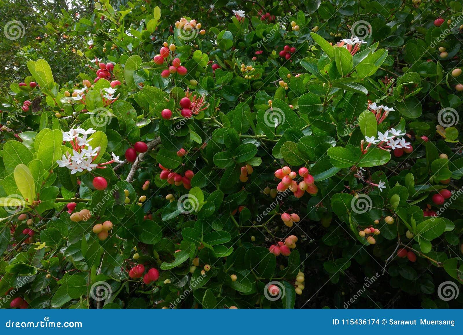 I frutti del ` del ` del ` fresco di Karanda o di Carunda del ` hanno molta vitamina C ed hanno proprietà come erba