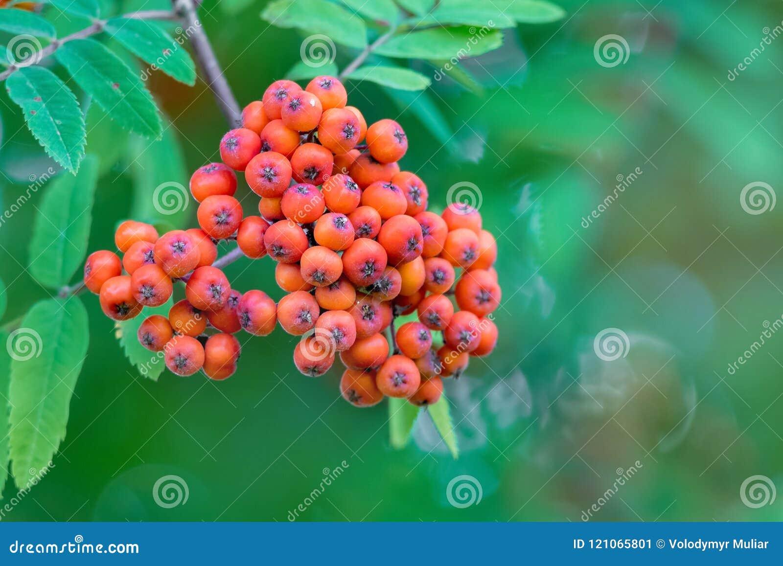Proprietà Cenere Di Legna i frutti della cenere di montagna su un fondo verde bacche