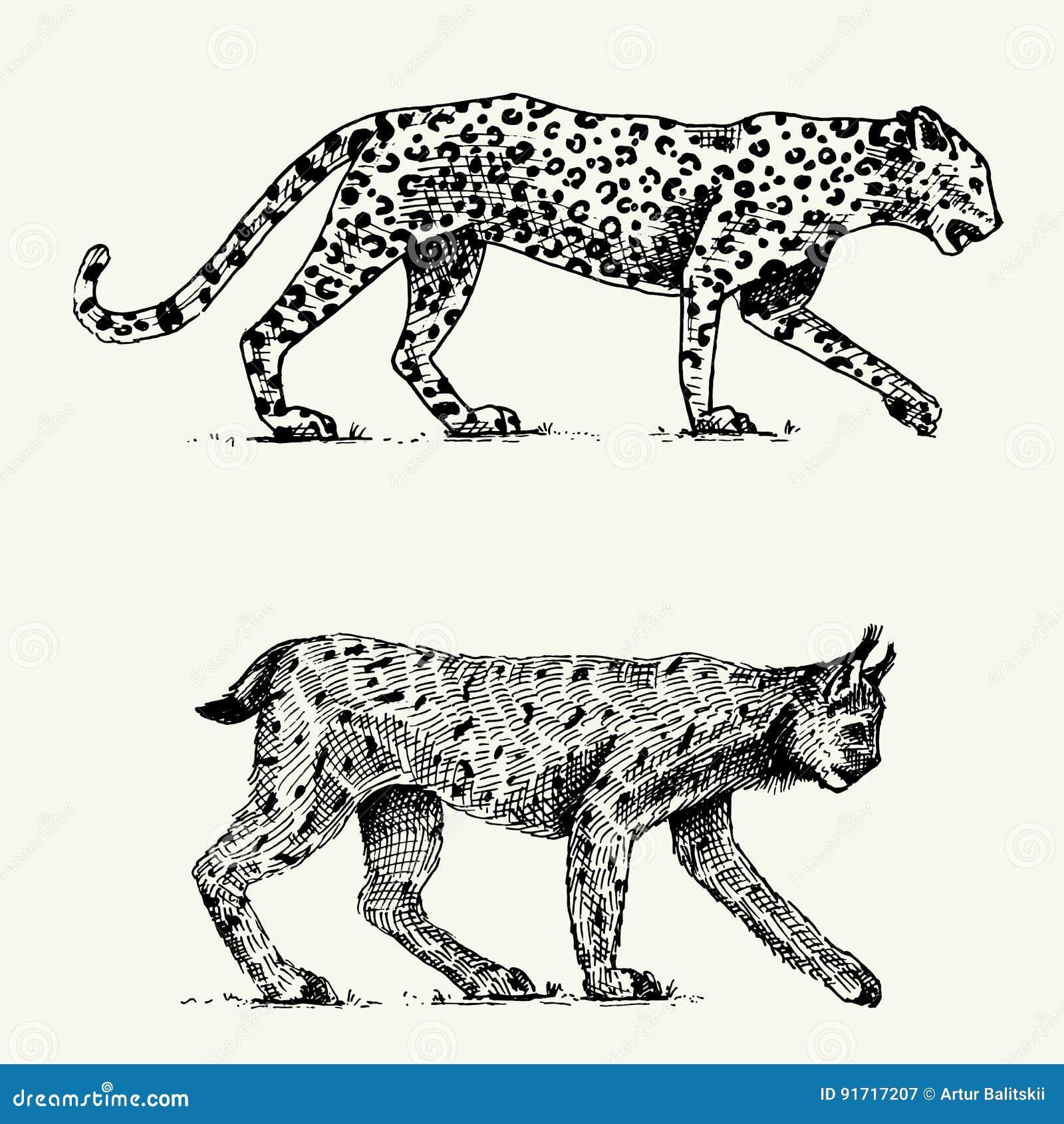 I gatti selvaggi hanno messo, leopardo e Lynx incisi disegnati a mano nel vecchio stile di schizzo, animali d annata