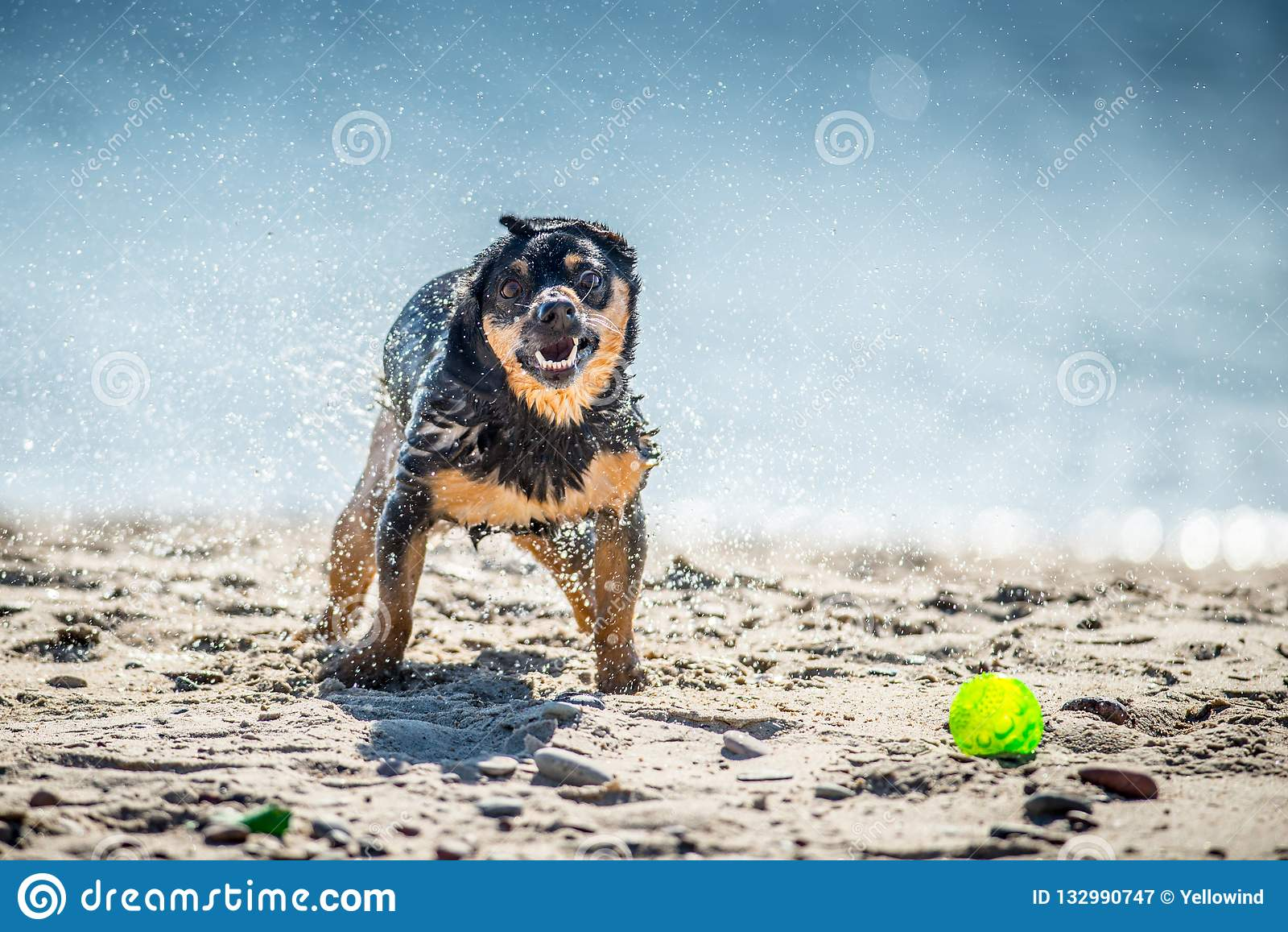 I giochi divertenti del cane si avvicinano all acqua, spruzzante le goccioline