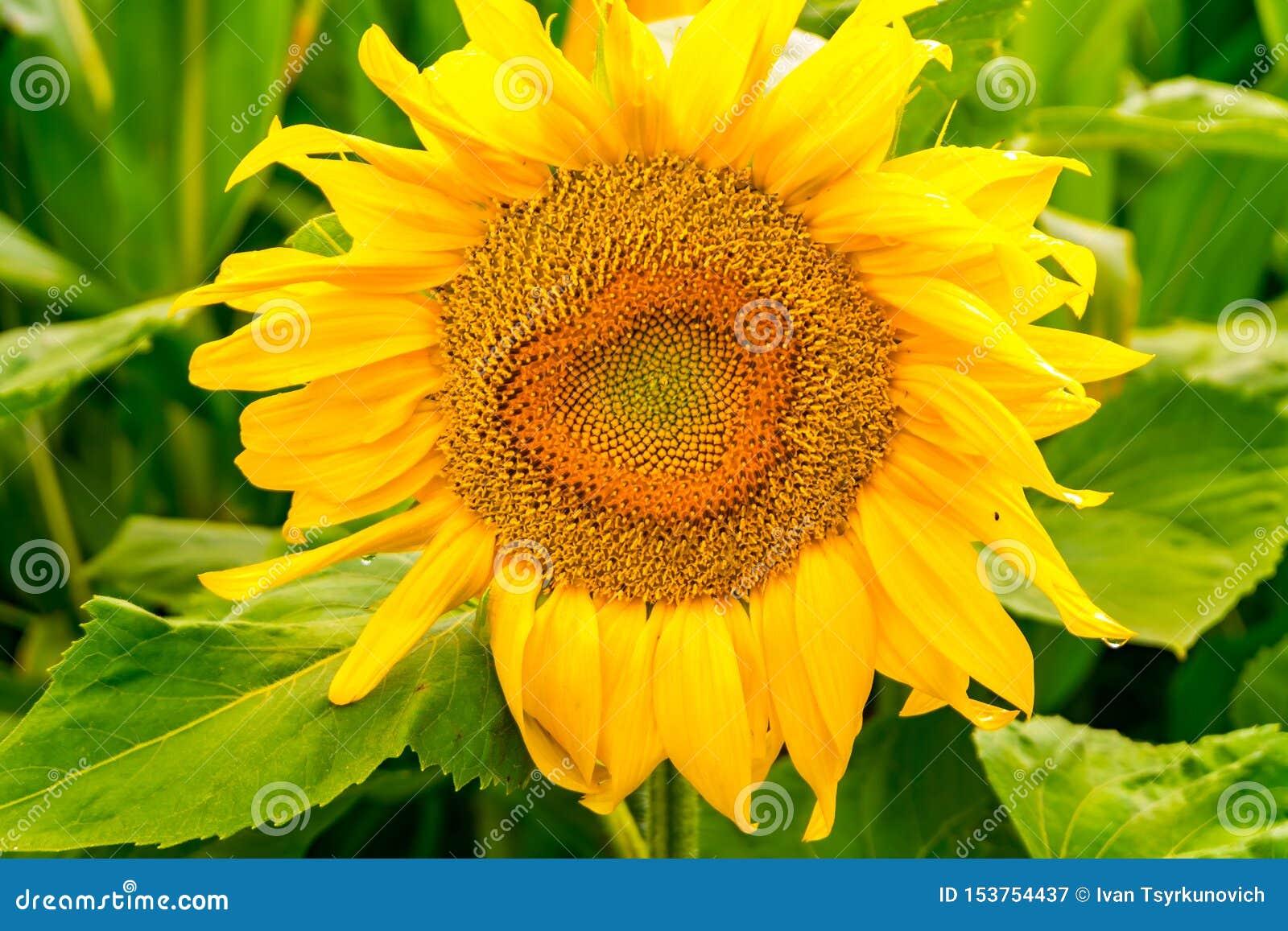 I girasoli gialli luminosi in piena fioritura in giardino per olio migliora la salute della pelle e promuovono la rigenerazione d