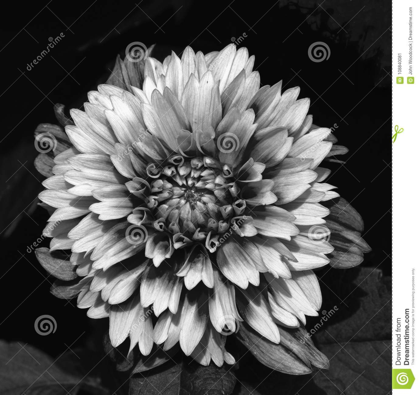With converting images to black and white this dahlia had just the right amount of color to convert converted using photoshop cs5 shot with canon 7d