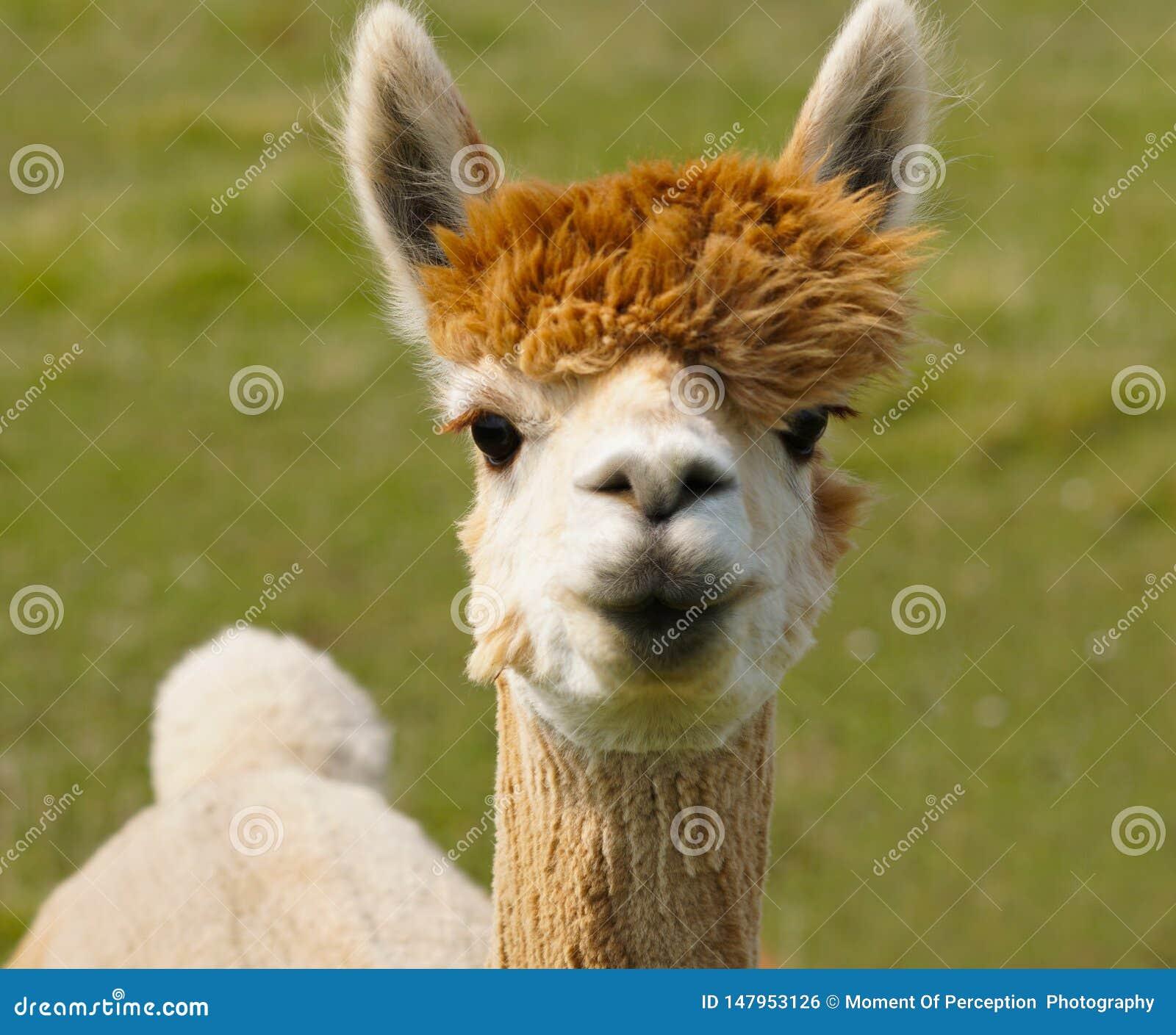 I Love Lucy the Alpaca