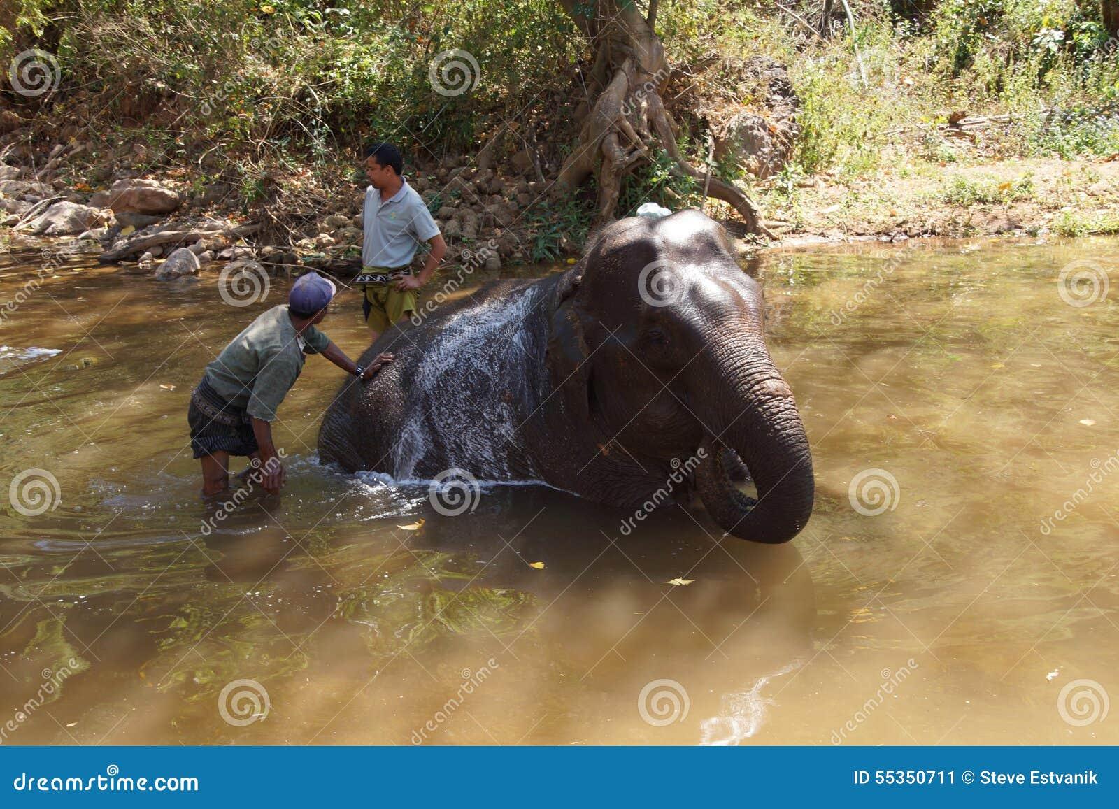I Mahouts lavano il loro elefante