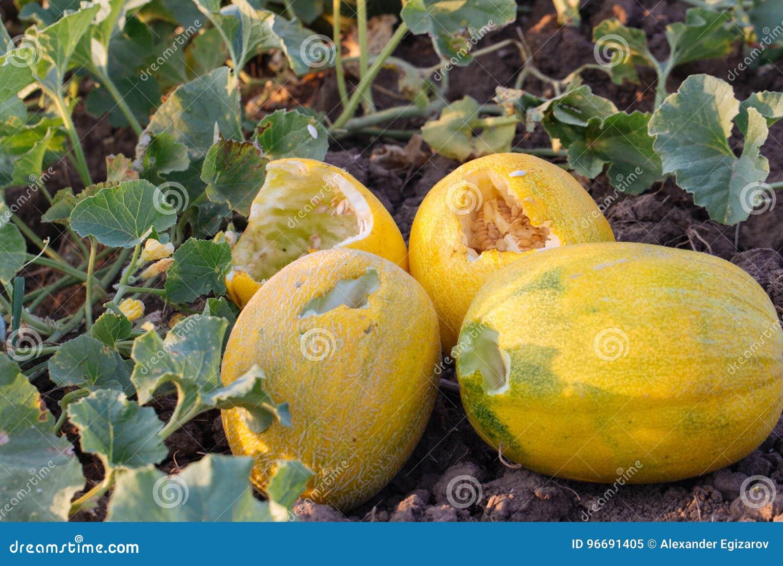 parassita del melone