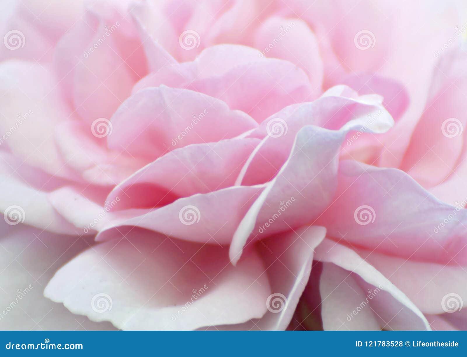 I petali rosa pallidi molli di rosa di bambino del fondo astratto wallpaper