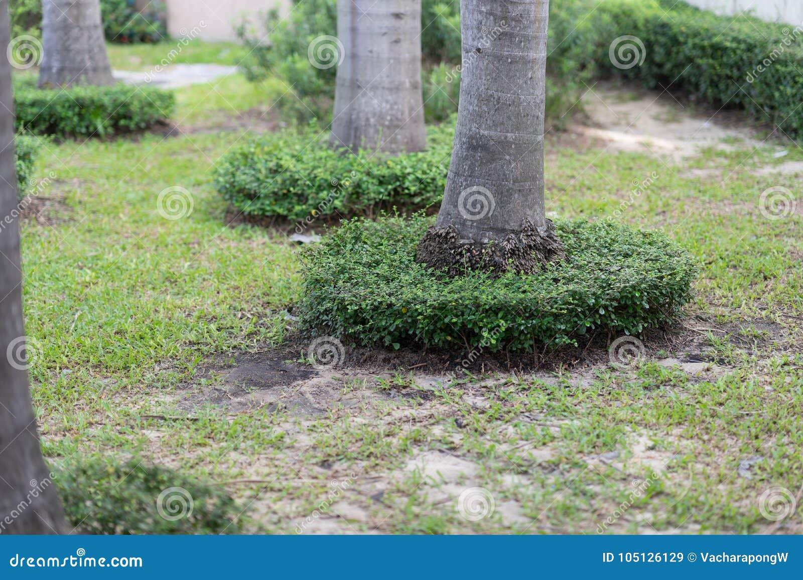 Piccoli Alberi Da Giardino i piccoli cespugli circondano intorno alla base della noce