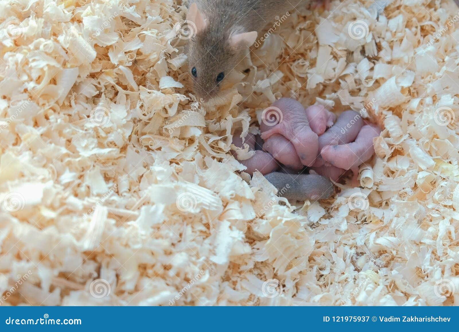 I piccoli topi neonati sono ciechi con la loro mamma nel nido