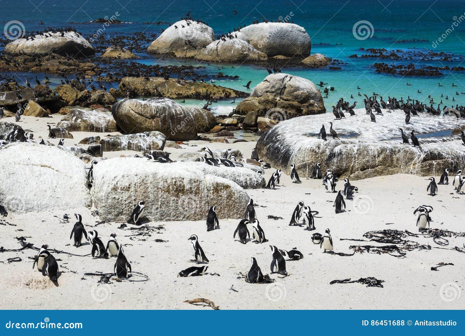 I pinguini africani ai massi tirano, Cape Town, Sudafrica