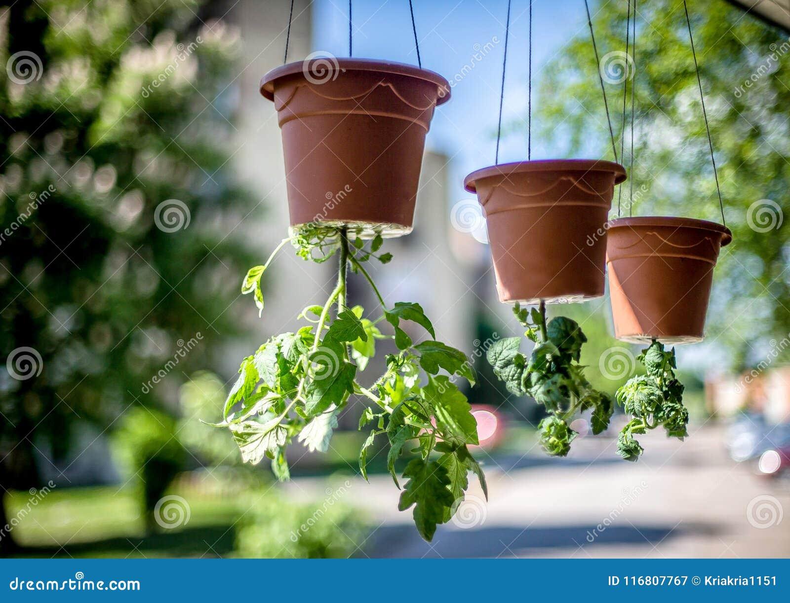 I pomodori si sviluppano sottosopra