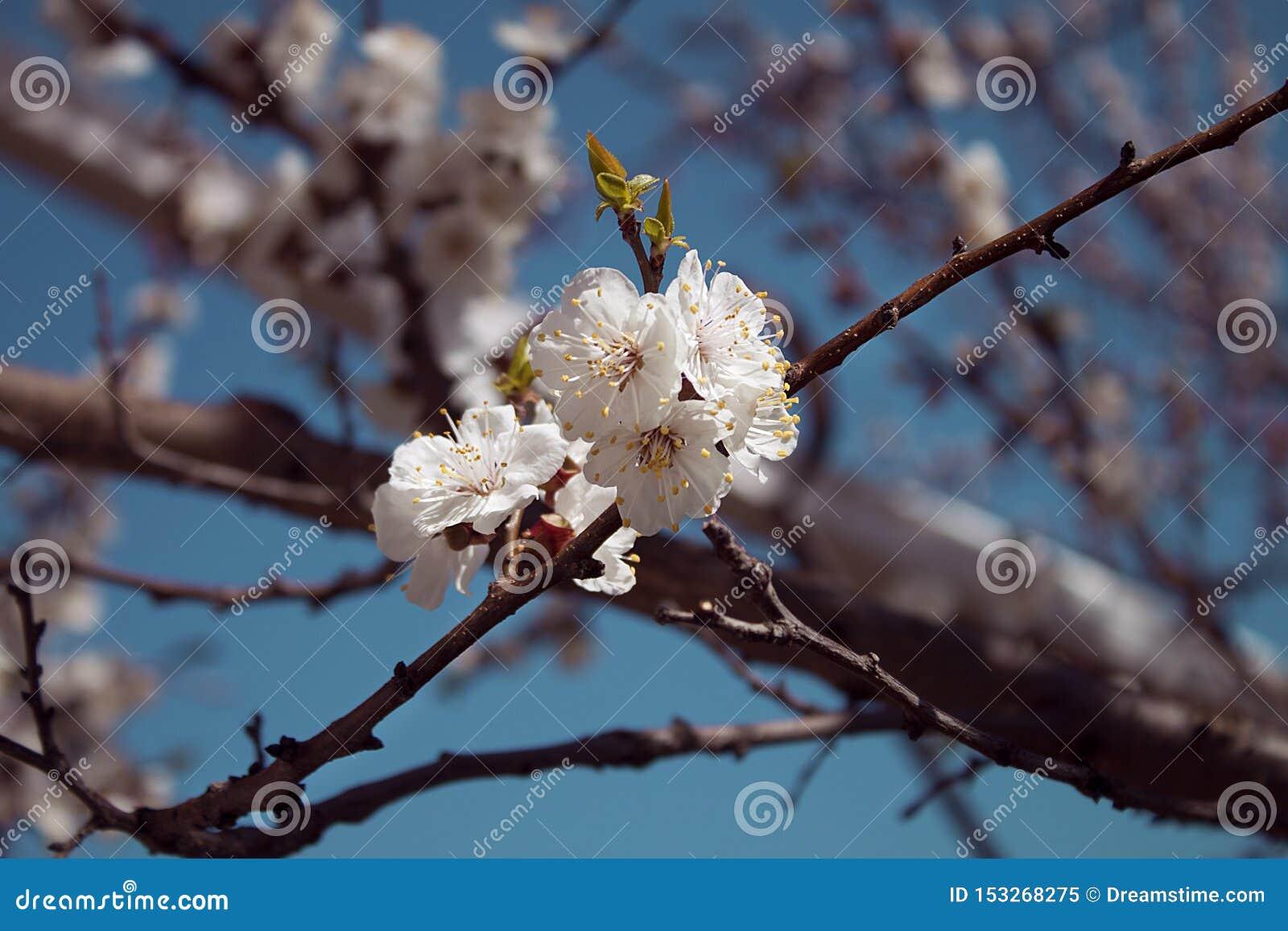 I primi fiori di fioritura nel giardino