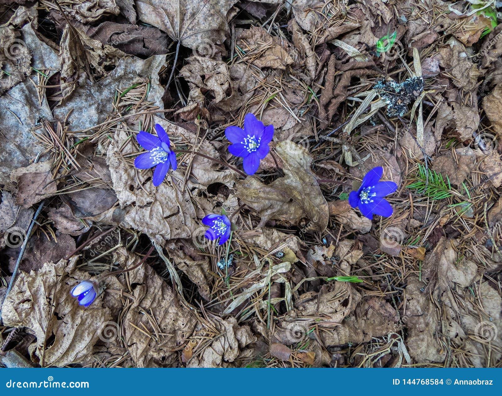 I primi fiori porpora del Hepatika fare il loro modo tramite le foglie dell anno scorso nella foresta, in molla in anticipo