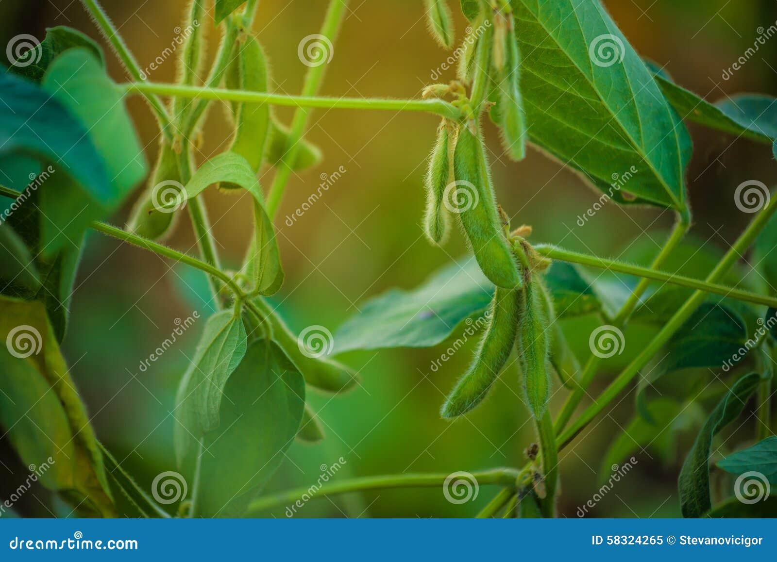 I raccolti della soia nel campo