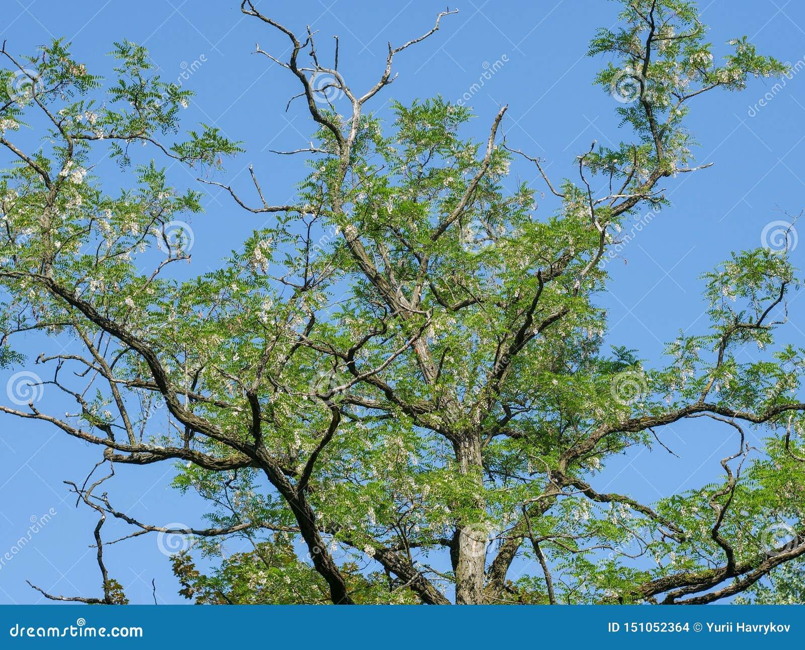 I rami dell acacia con i fiori contro un cielo blu senza nuvole della molla