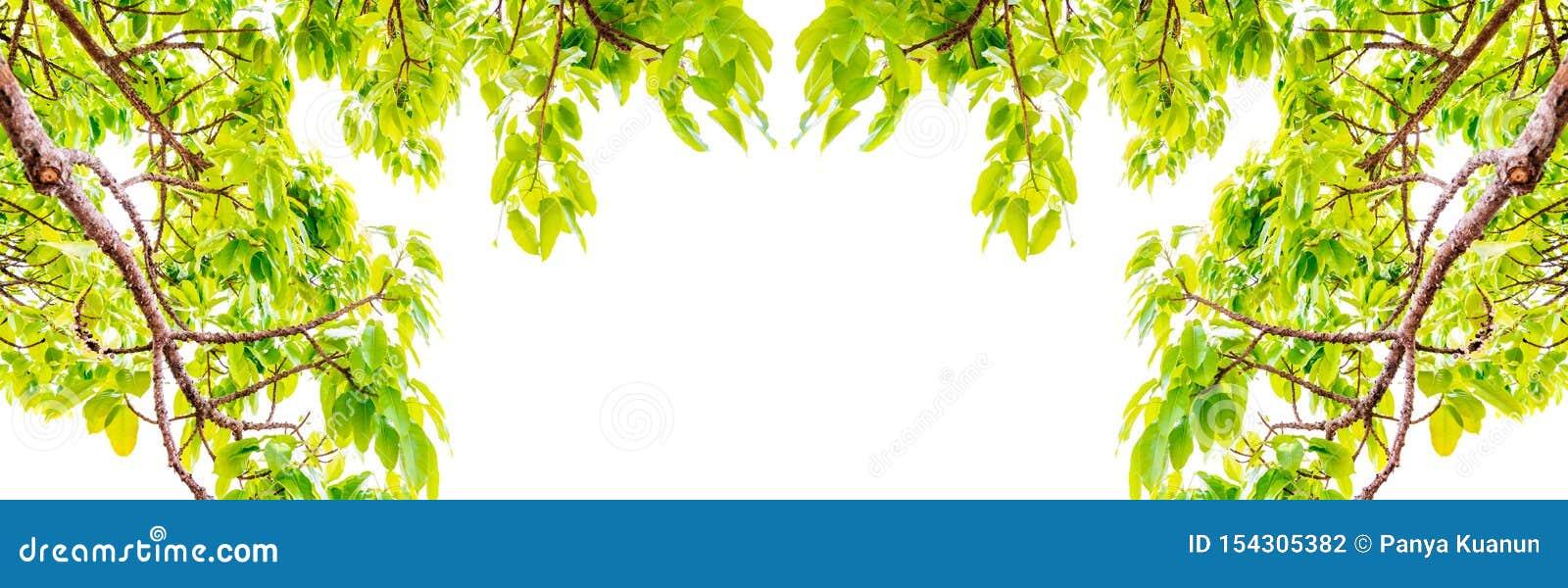 I rami di alberi freschi delle foglie incorniciano le belle foglie verdi isolate sull immagine di sfondo bianca per il fondo dell