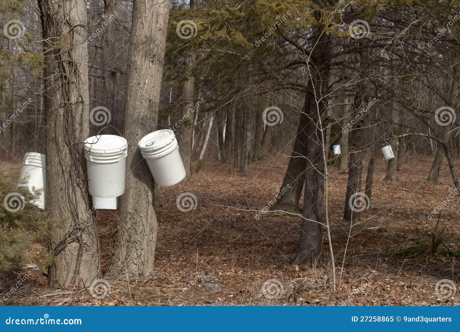 I secchi hanno appeso sugli alberi dell 39 acero da zucchero for Nuova architettura in inghilterra