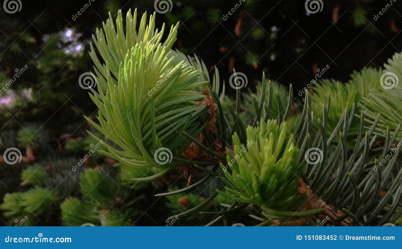 I tiri giovani hanno mangiato nei raggi del sole della molla Per sempre albero conifero di verde