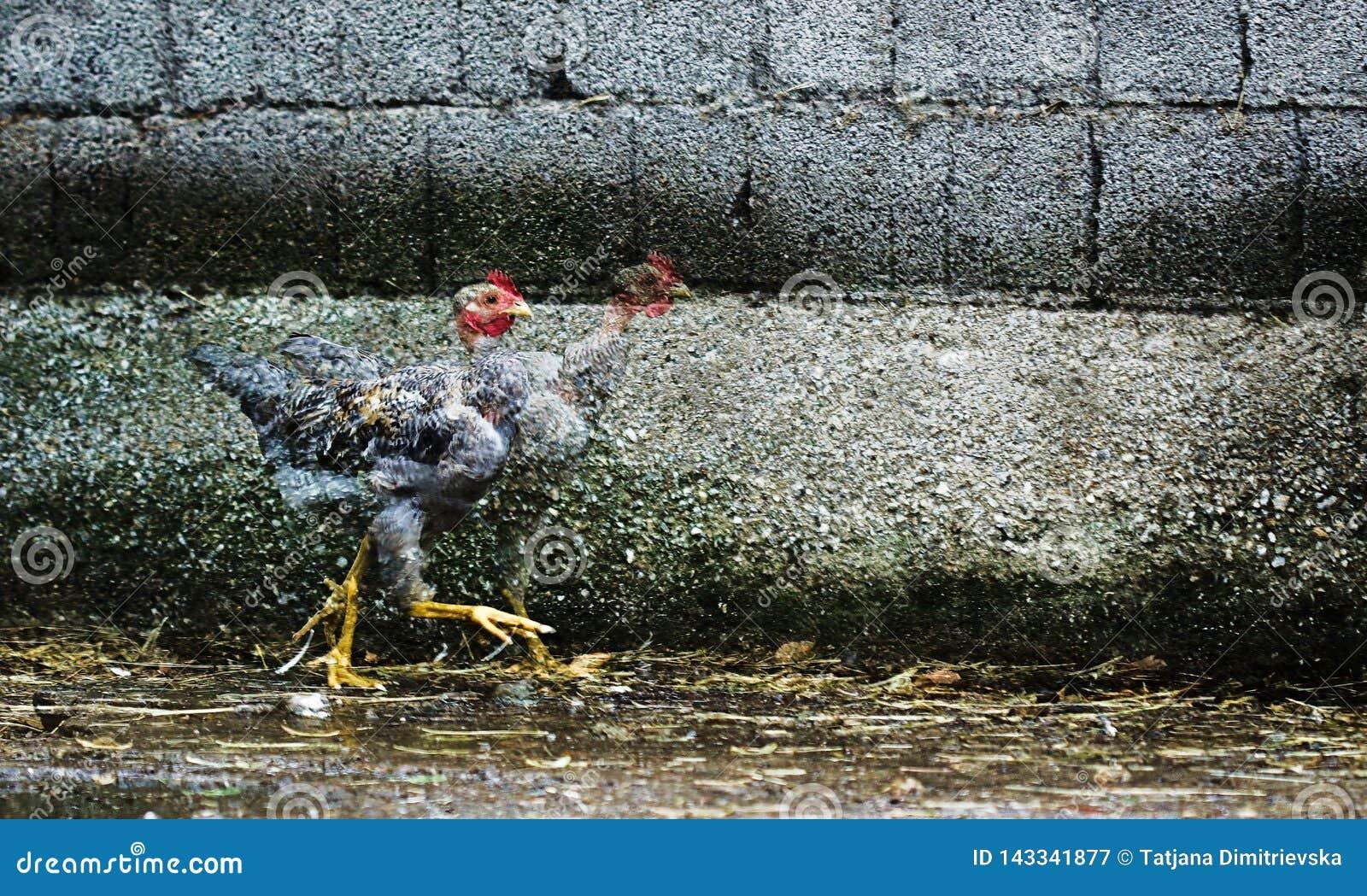 Runaway chicken