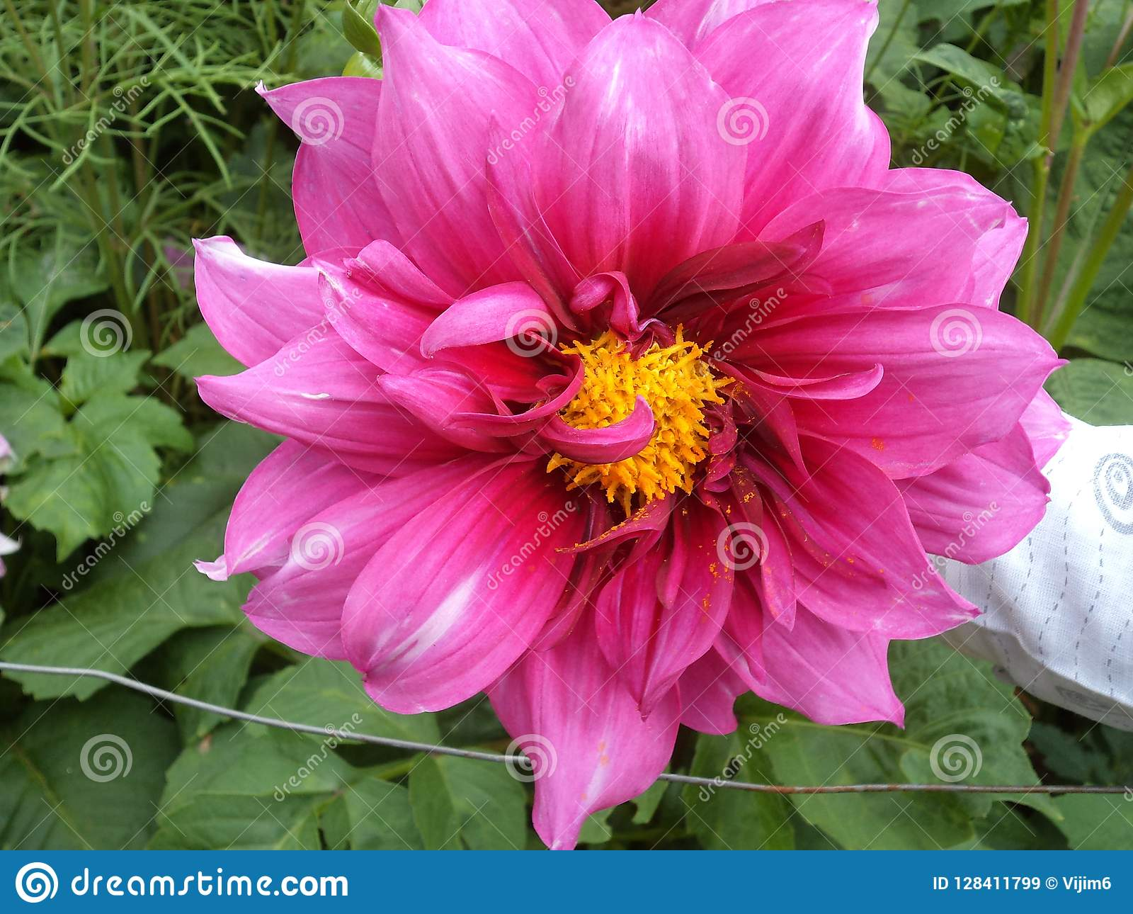 Beautiful Pink Colour Flower Of Dahlia Species Stock Image Image