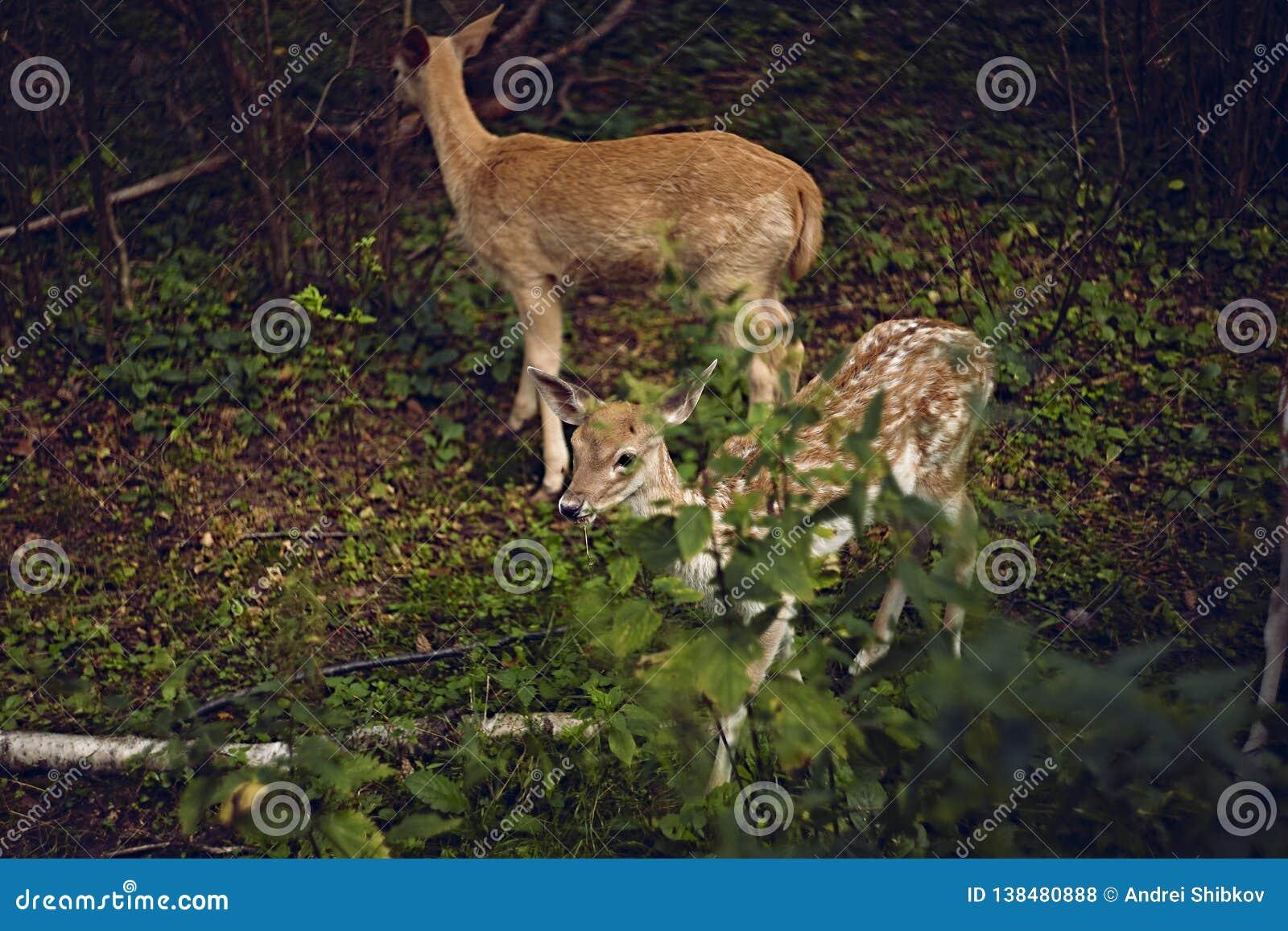I träda deers i sommarskogen