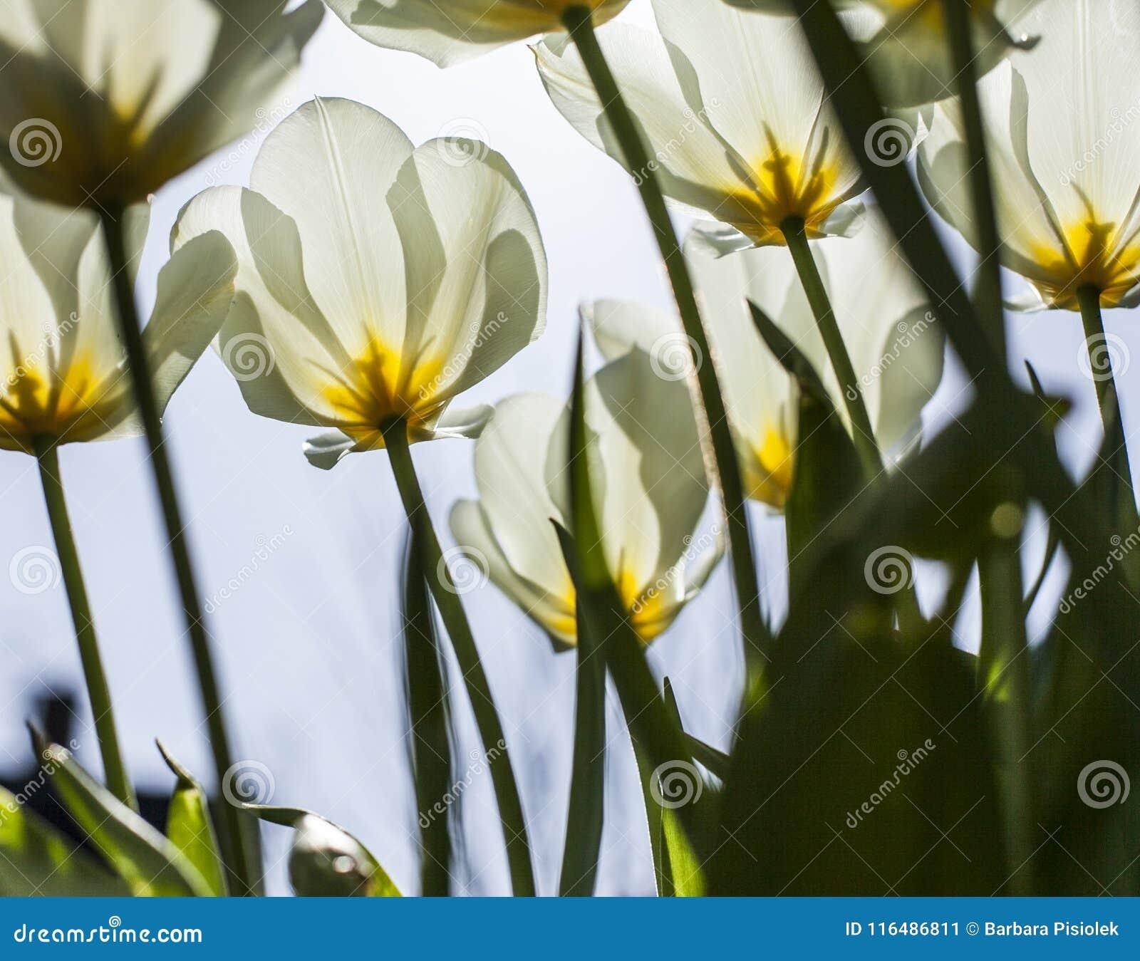 I trädgården på en solig dag - vita tulpan mot en blå himmel