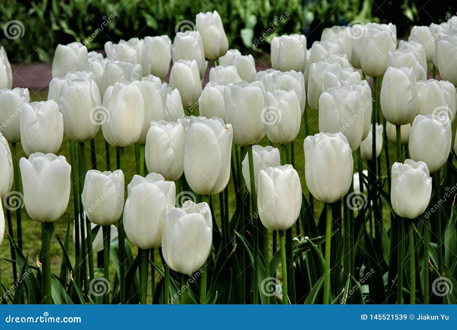 I tulipani bianchi puri fioriscono nel campo del tulipano