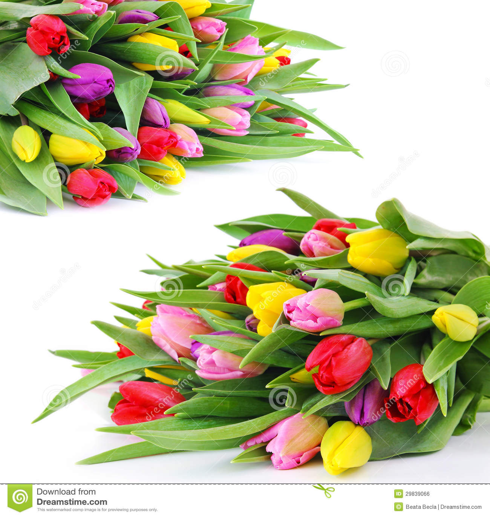 Fiori del tulipano della molla