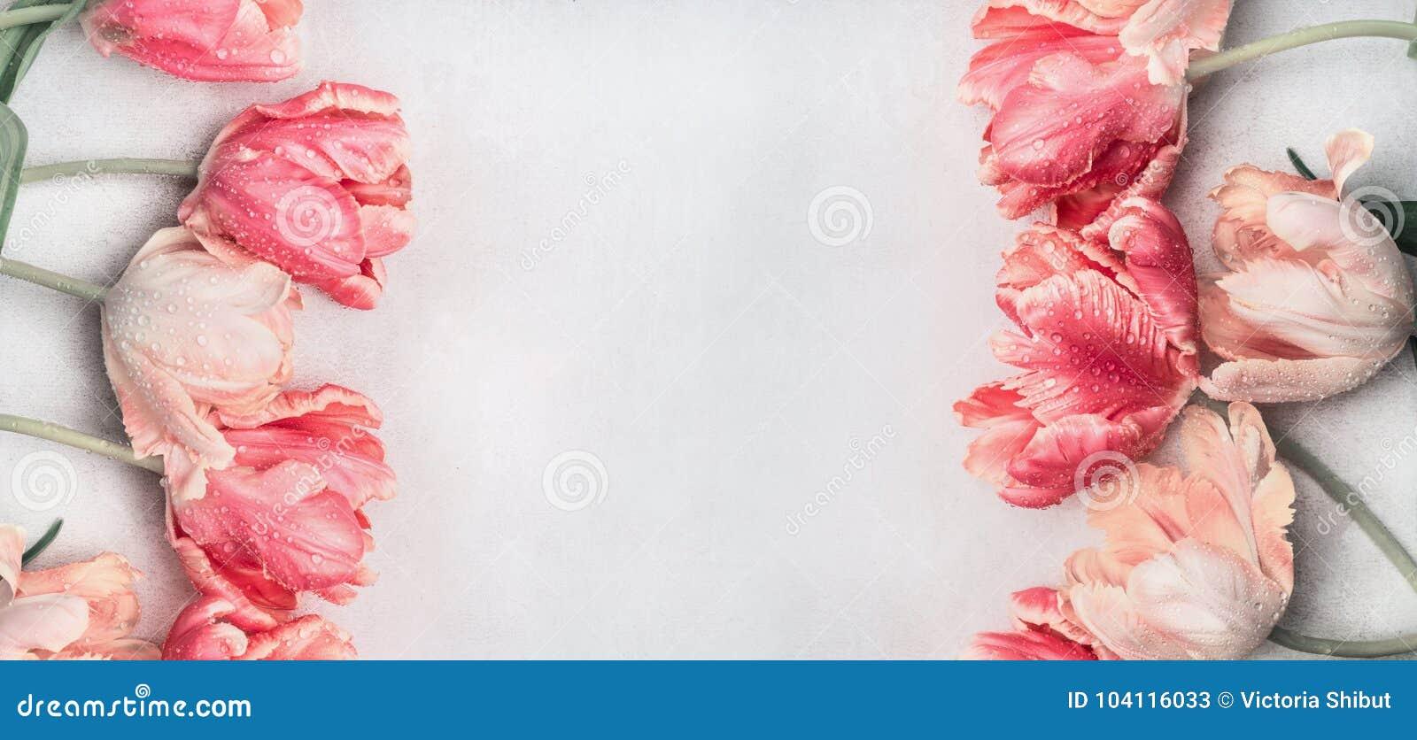I tulipani pastelli fiorisce con le gocce di acqua, la vista superiore, la struttura o l insegna Cartolina d auguri di primavera