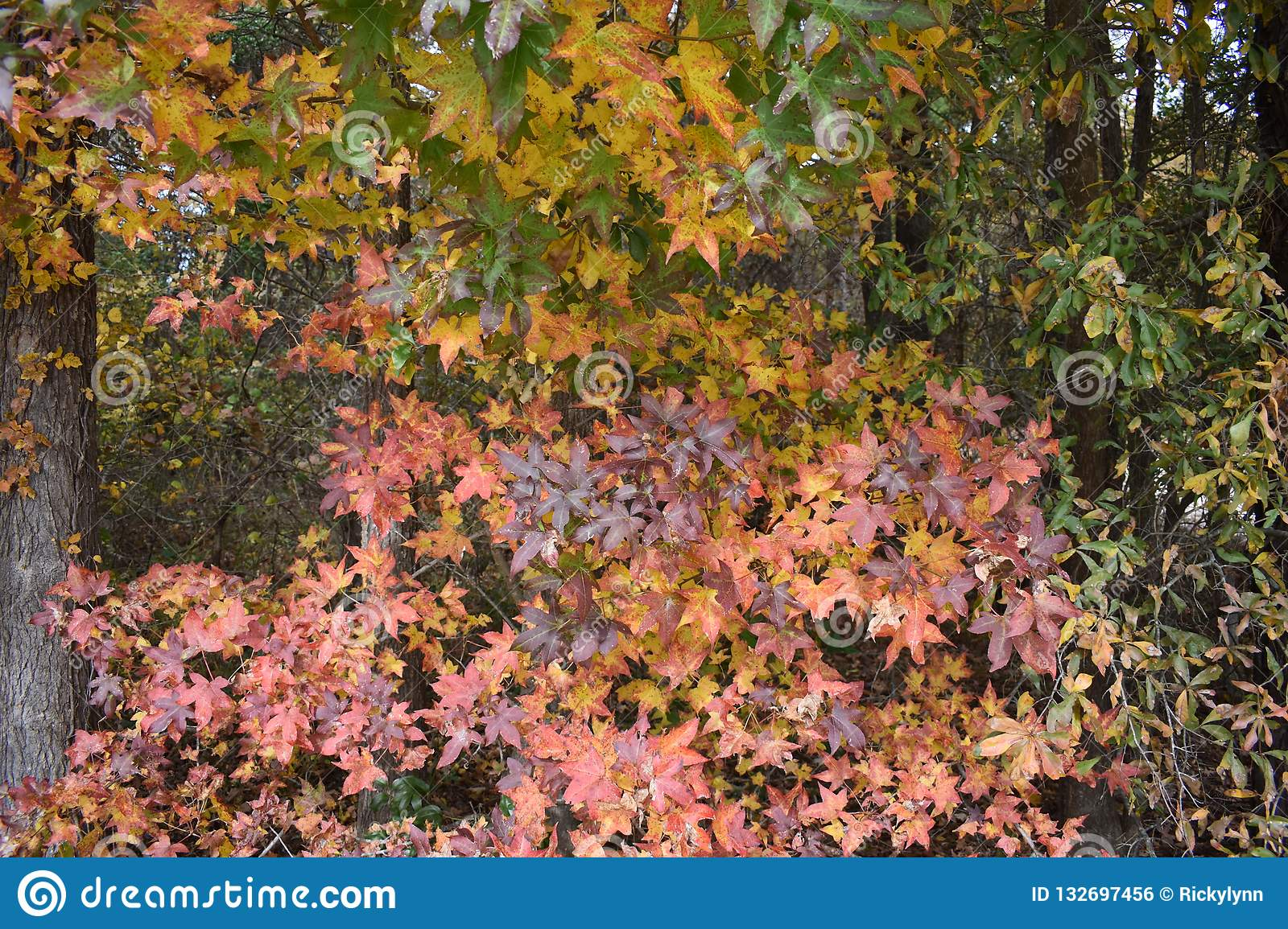 Fall Colors Of A Sweet Gum Tree In Gilmer Texas Nov 25 2018