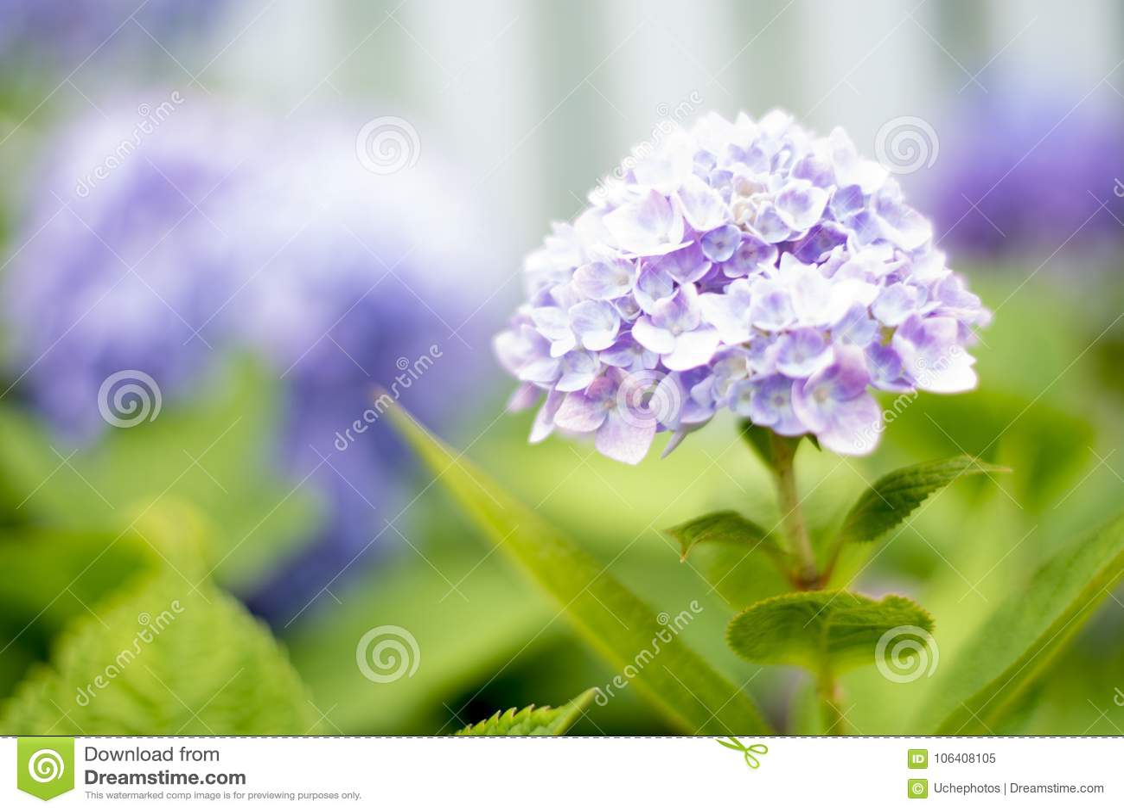 A hydrangea flower is a poem